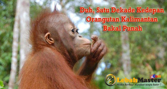 Orangutan Kalimantan Bakal Punah