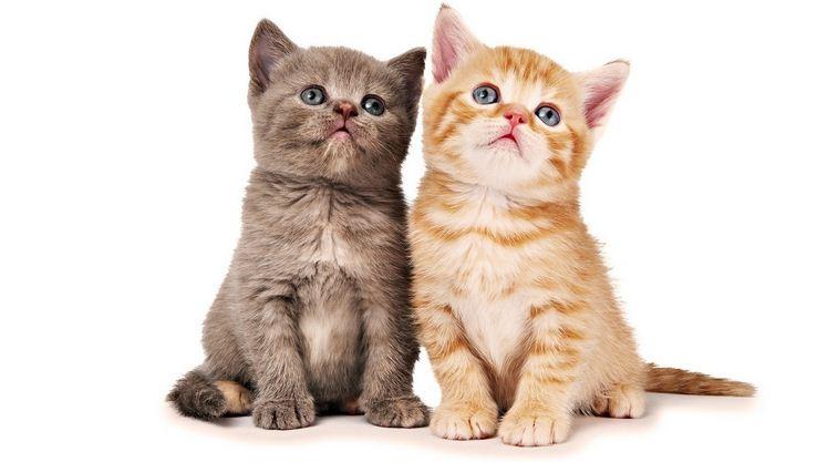 Manfaat Memelihara Kucing